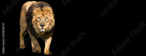 Photo Template of Lion with a black background