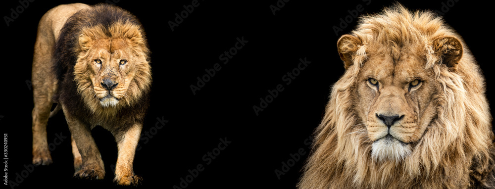 Fototapeta Template of Lion with a black background