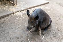 Wild Pig In An Australia Zoo S...