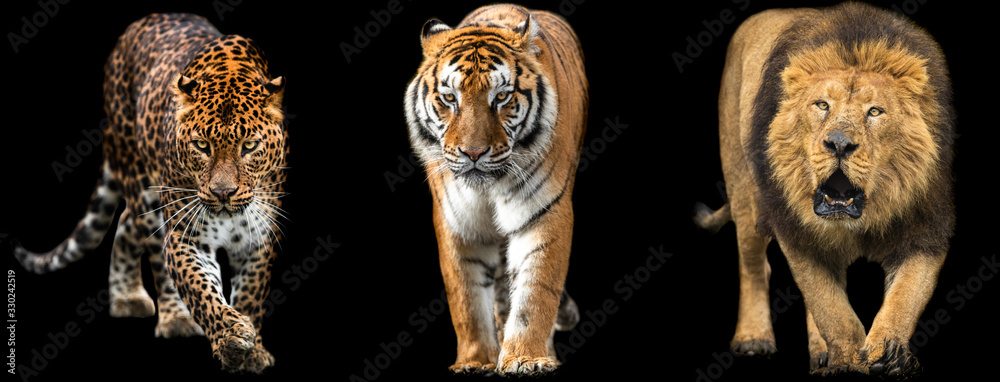 Fototapeta Template of Lion, Tiger and Panther with a black background
