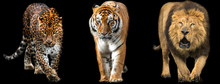 Template Of Lion, Tiger And Panther With A Black Background
