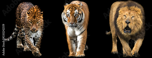 Photographie Template of Lion, Tiger and Panther with a black background