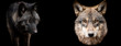 Template of wolfs with a black background