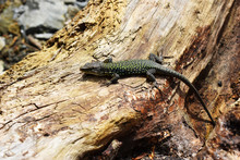 A Beautiful Lizard Crawls On A...