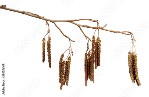 Dry alder tree branch with hanging earrings on an isolated white background Wallpaper Mural