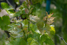 Branch Of A Tree. Fresh Sprouts Of Young Grape Bunches Of Grapevine. Organic Vineyard In Springtime. Tiny Grape Leaves Closeup On Green Blurred Background.