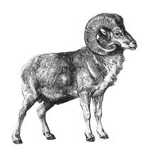 Marco Polo Sheep (Ovis Ammon P...