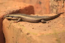South African Striped Skink