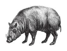 Babirusa Or Deer-pigs / Vintage Illustration From Brockhaus Konversations-Lexikon 1908
