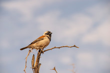 Sitting Cape Sparrow