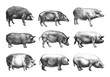pig collection / vintage illustration from Brockhaus Konversations-Lexikon 1908