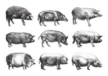 Pig Collection / Vintage Illus...