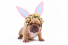 Choko Fawn Colored French Bull...
