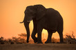canvas print picture - A dramatic backlit portrait of an elephant walking with a golden sunset in the background, taken in the Madikwe Game Reserve, South Africa.