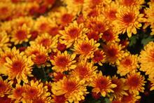 Bicolor Yellow-orange Chrysant...