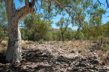 Alice Springs Australia, Gum Tree And Dry Riverbed Near Serpentine Gorge