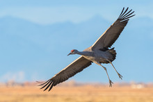 Migrating Greater Sandhill Cra...