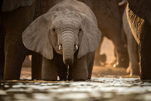 A Beautiful Golden Front On Photograph Of A Young Elephant Drinking At A Waterhole At Sunset, In The Madikwe Game Reserve, South Africa.