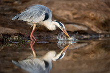 An Action Photograph Of A Grey Heron Catching Two Fish In A Waterhole At The Madikwe Game Reserve, South Africa. The Bird Is Beautifully Reflected In The Calm Water.