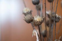 Dried Thistles Plant In A Vase...