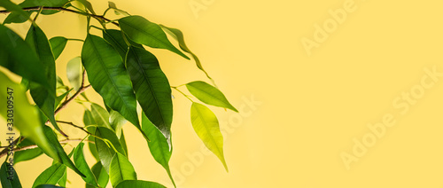 Photo Green leaves of ficus benjamin on a yellow background close-up