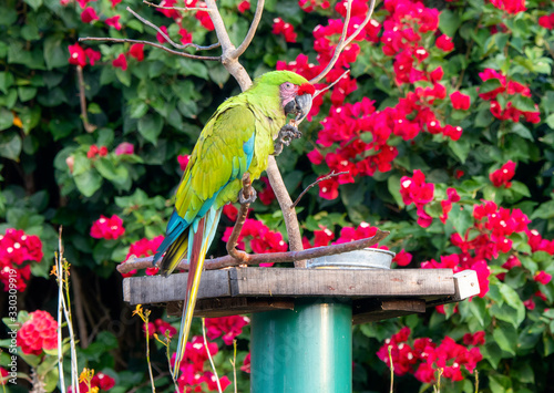Captive Released Military Macaw (Ara militaris) at a Feeding Station in Jalisco, Canvas Print