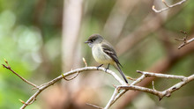 Pacific-slope Flycatcher (Empidonax Difficilis) Perched On A Branch In Jalisco, Mexico