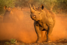 An Action Photograph Of Two Female Black Rhinos Charging At The Game Vehicle, Kicking Up Red Dust At Sunrise, Taken In The Madikwe Game Reserve, South Africa.