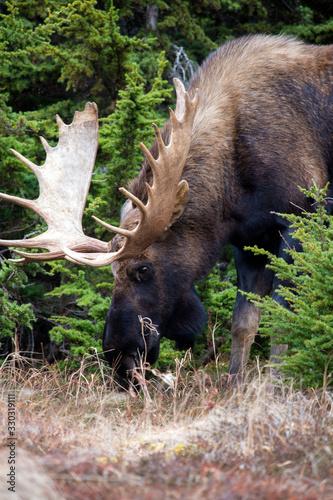 Majestic Moose Tapéta, Fotótapéta