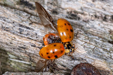 Extreme Magnification - Lady Bug With Spread Wings. Flying Ladybug
