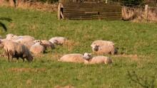 Sheep Lying On The Green Grass...