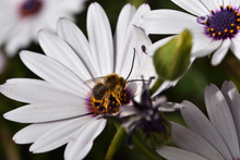 Male Long-horned Bee (Eucera L...