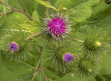 Common Burdock Flowering In Fo...