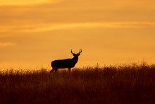 Whitetial Deer Buck At Sunset ...