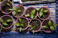 Young Pepper Seedlings In The ...