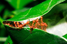 Red Ants Are Helping To Pull The Leaves Together To Build A Nest
