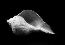 Shell Isolated On Black Backgr...