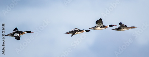 Flock of red breasted mergansers flying in formation with clouded blue and white sky in background