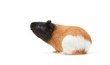 Guinea pig (Cavia porcellus) is a popular household pet A young tricolor Guinea pig stands sideways and looks up on white Background.