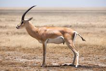 Gasell In Serengeti