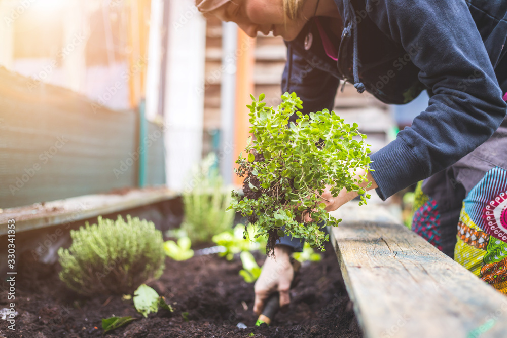 Fototapeta Urban gardening: Woman is planting fresh vegetables and herbs on fruitful soil in the own garden, raised bed.