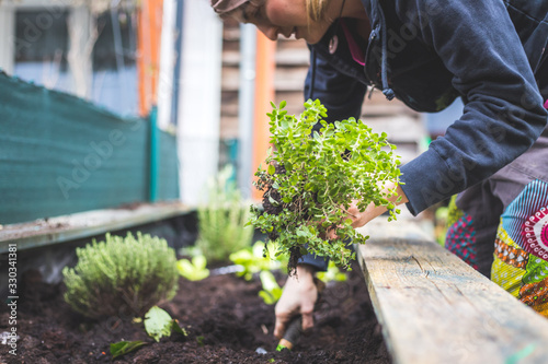 Fototapeta Urban gardening: Woman is planting fresh vegetables and herbs on fruitful soil in the own garden, raised bed. obraz