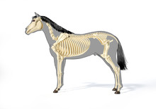 Horse Anatomy. Skeletal System.