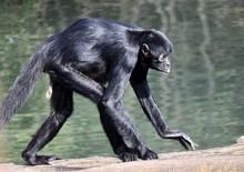 Spider Monkey Walking