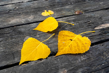 Three Yellow Leaves On A Table...