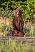 European Brown Bear In Forest (ursus Arctos)