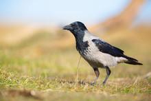Hooded Crow / Corvus Corone Cornix / Cioara Griva