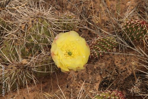 Flowering yellow Cactus in Utah