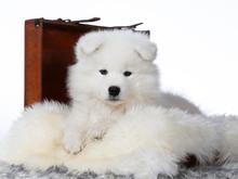 Cute Samoyed Puppy Dog In Stud...