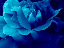 Deep Blue Rose Flower Head Clo...